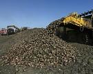 Россия стала первой в мире по сбору сахарной свеклы