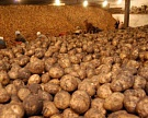 У Black Earth Farming сгорело картофелехранилище
