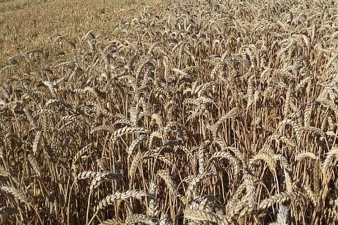 Аналитики продолжают пересматривать прогнозы урожая зерна