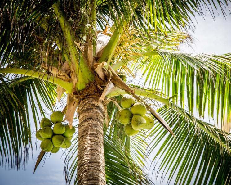 Кокосовое масло отпугивает насекомых лучше репеллента