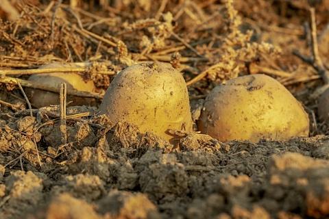 Картофельный союз: Россия нескоро откажется от импорта семенного картофеля