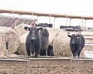 «Мираторг» заместит 7% импортной говядины