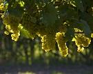 «Абрау-Дюрсо» получил рекордный урожай винограда