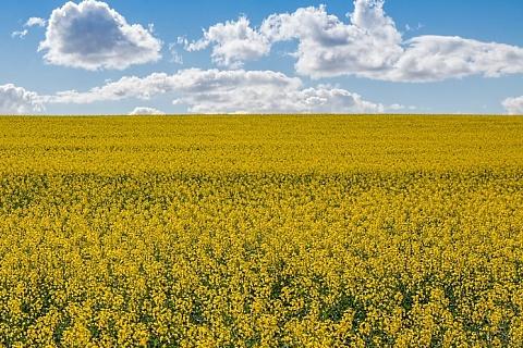 Посевы и урожай рапса могут стать рекордными