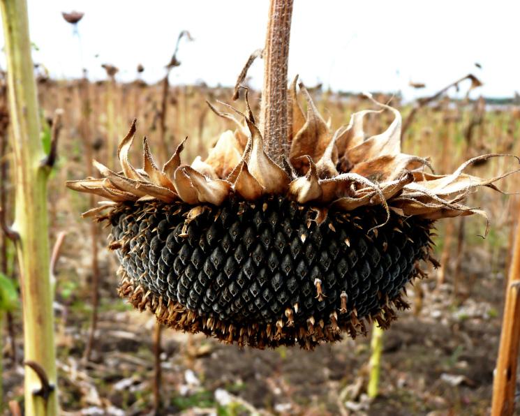 Подсолнечник на спаде. Урожай основной масличной агрокультуры сократится не менее чем на 500 тыс. т