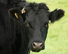 На мясное скотоводство направят почти 3 млрд рублей