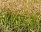 Уборка риса вРоссии затягивается из-за плохой погоды