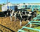 Голштинизация по-казахски: опыт выведения заводского типа молочного скота