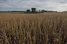 Урожайность сои сократилась до прошлогоднего уровня