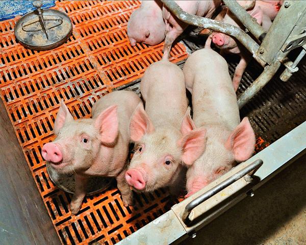 «Комос Групп» купила свинокомплекс «Татмит Агро» вТатарстане