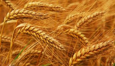 Многолетние зерновые— через 20 лет