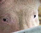 Белоруссия иКазахстан ограничили ввоз говядины исвинины