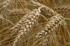 Урожай ржи в 2019 году останется на минимуме