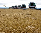 В России намолочено 72,5 млн тонн зерна