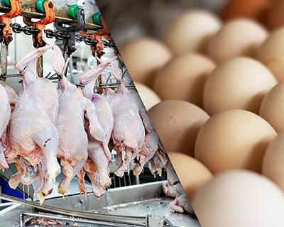 Яичные птицефабрики начинают производить мясо бройлера в надежде повысить доходность