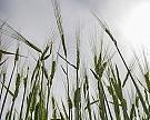 Неустойчивые кболезням сорта пшеницы оказались лучше