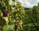 Крым в 1,5 раза увеличит господдержку виноградарства