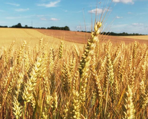 Минсельхоз США ждет рекордного урожая зерна вРоссии