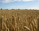 Минсельхоз: цены на зерно стабильны
