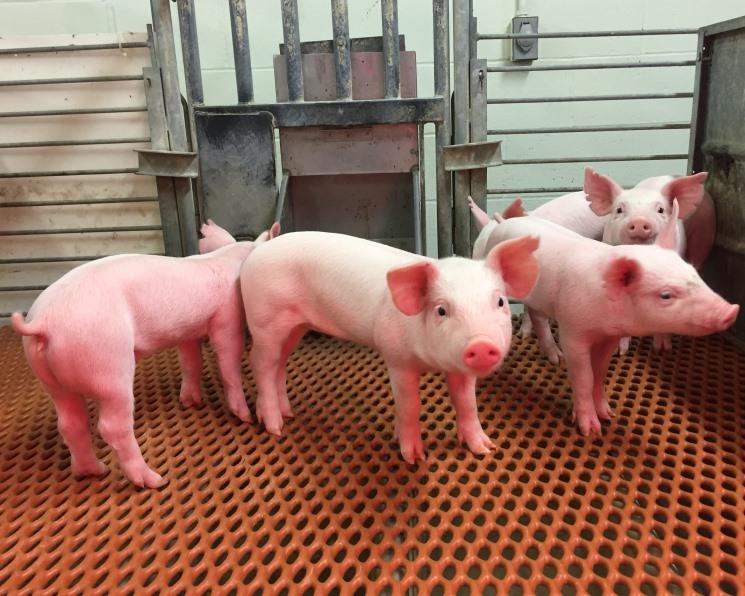 Выведены устойчивые к вирусу TGEV свиньи