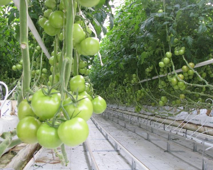 «Эко-культура» расширит теплицы до 663 гектаров
