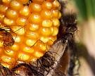 Экспорт кукурузы идет на рекорд