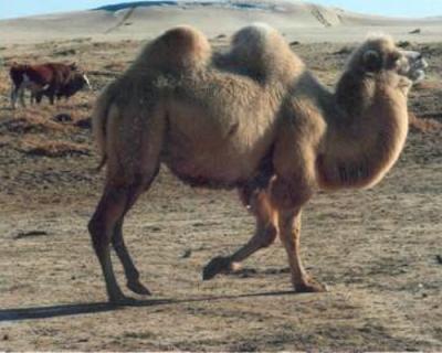 Молочные опыты: ученые Казахстана сравнили коровье, верблюжье и кобылье молоко