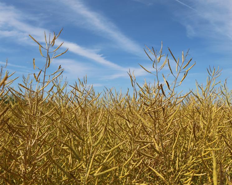 Посевы масличных выросли, норекордного урожая может небыть