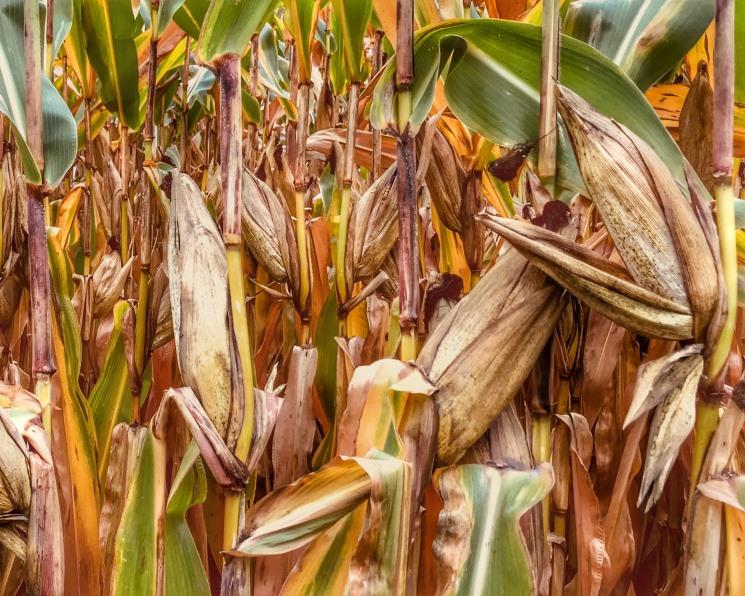«Царица полей» сдает позиции? Урожай кукурузы в этом году может стать самым низким за последние пять лет