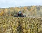 Конопля «взаконе»: Аграрии борются заправо выращивать рентабельную культуру