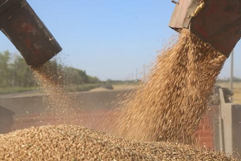 Урожайность пшеницы приблизилась к прошлогоднему уровню