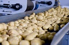 России грозит дефицит семенного картофеля