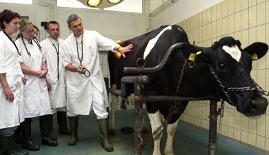 Брак коров