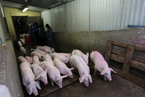 В Калининградской области восстановлено поголовье свиней
