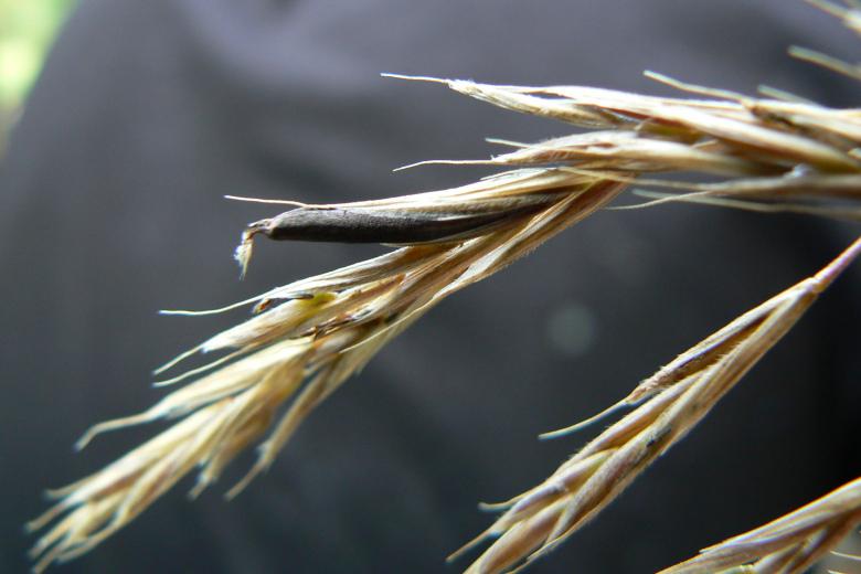 Война Египта со спорыньей в пшенице