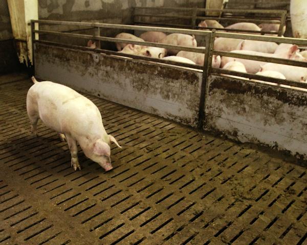 Tönnies Fleischwerk начала строительство свинокомплекса «Тростянский» вВоронежской области