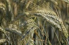 Урожай ржи упадет до исторического минимума