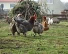 Госдума может ограничить поголовье скота в личных хозяйствах