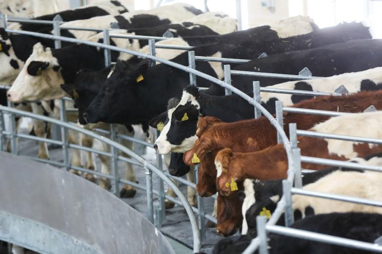 Нарегионы, вошедшие всписок, приходится треть всего производств сырого молока вРоссии