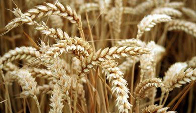 МСХ ожидает урожай зерновых науровне 75 млн т
