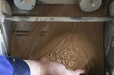 Цены на пшеницу в южных регионах пошли вниз