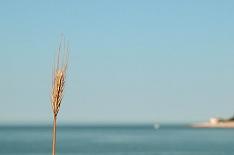 Экспортные и внутренние цены на пшеницу снижаются