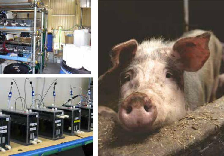 Найден новый способ очистки отходов свиноферм