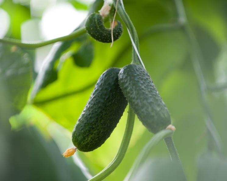 Производство тепличных овощей может обновить рекорд