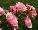 В России лишь 7% теплиц выращивают цветы