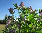 Совладельцы «АФГ Националь» будут выращивать люцерну