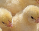 Роддом для цыпленка