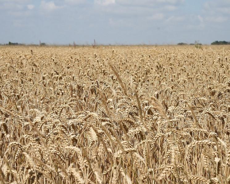 Сейте пшеницу