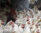 Из-за птичьего гриппа вПодмосковье уничтожено 400 тысяч кур