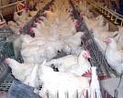 Птицефабрика «Боровская» взяла влизинг агротехнику на262млнрублей